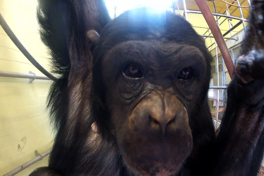 /db_data/movies/hetchimpanseecomplex/scen/l/chimp-2b_300dpi.jpg